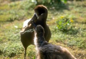 Black-footed Albatross feeding plastic to chick