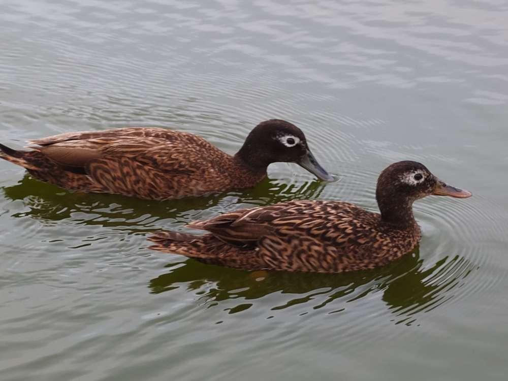 Laysan Duck Pair
