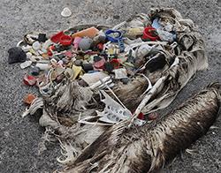 Plastic in Albatross