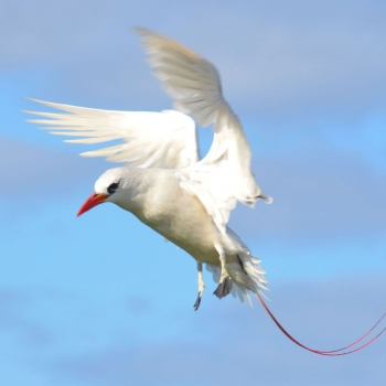 red-tailed-tropicbird