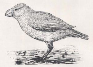laysan-finch