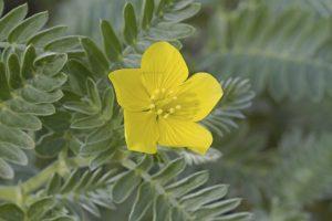 Nohu (Tribulus cistoides)