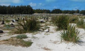 After Restoration Efforts on Midway Atoll NWR