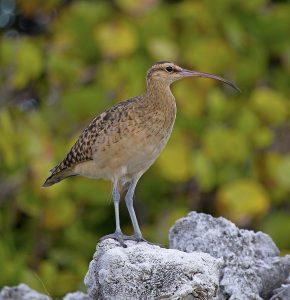 Bristle-thighed Curlew – Kioea (Numenius tahitiensis)