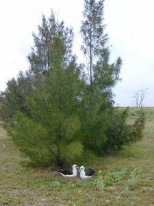 Ironwood (Casuarina equisetifolia)