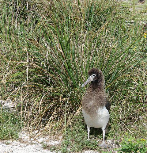 eragrostis-variabilis-albatross-chick