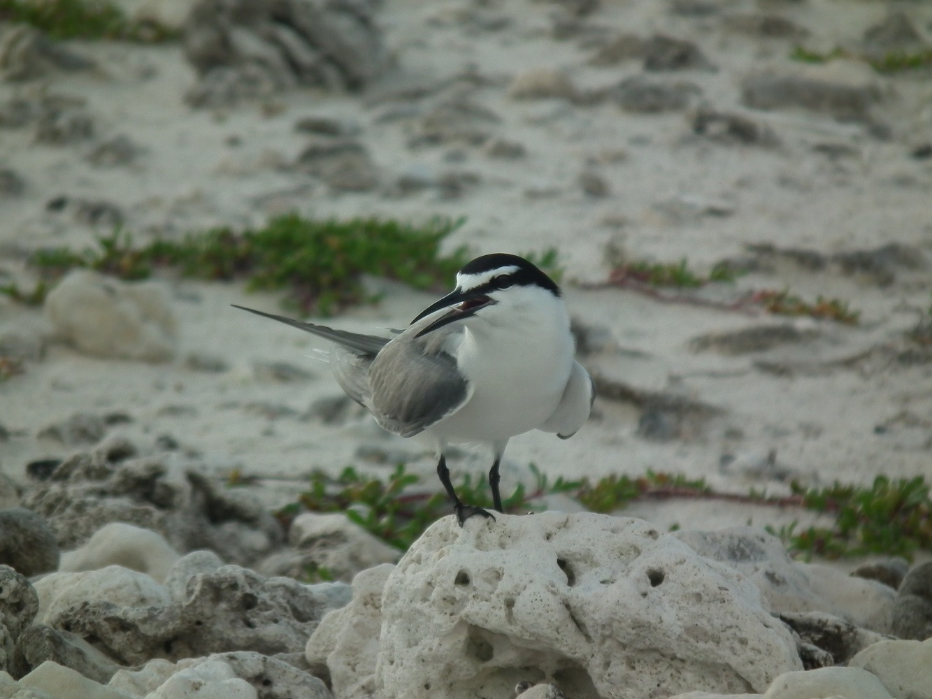 Gray-backed Tern