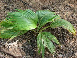 Loulu / Nīhoa Fan Palm (Pritchardia remota)