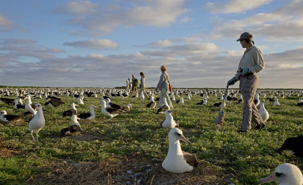 Albatross Census Counters on Midway Atoll NWR
