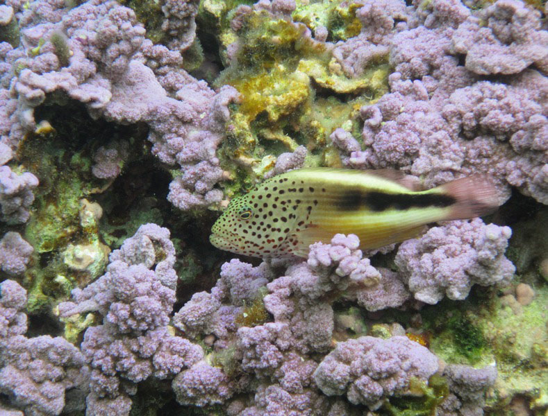blackside-hawkfish