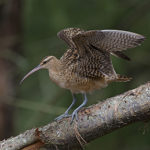 Bristle-thighed-Curlew2-DC1