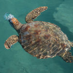 Green-Sea-Turtle2-KS