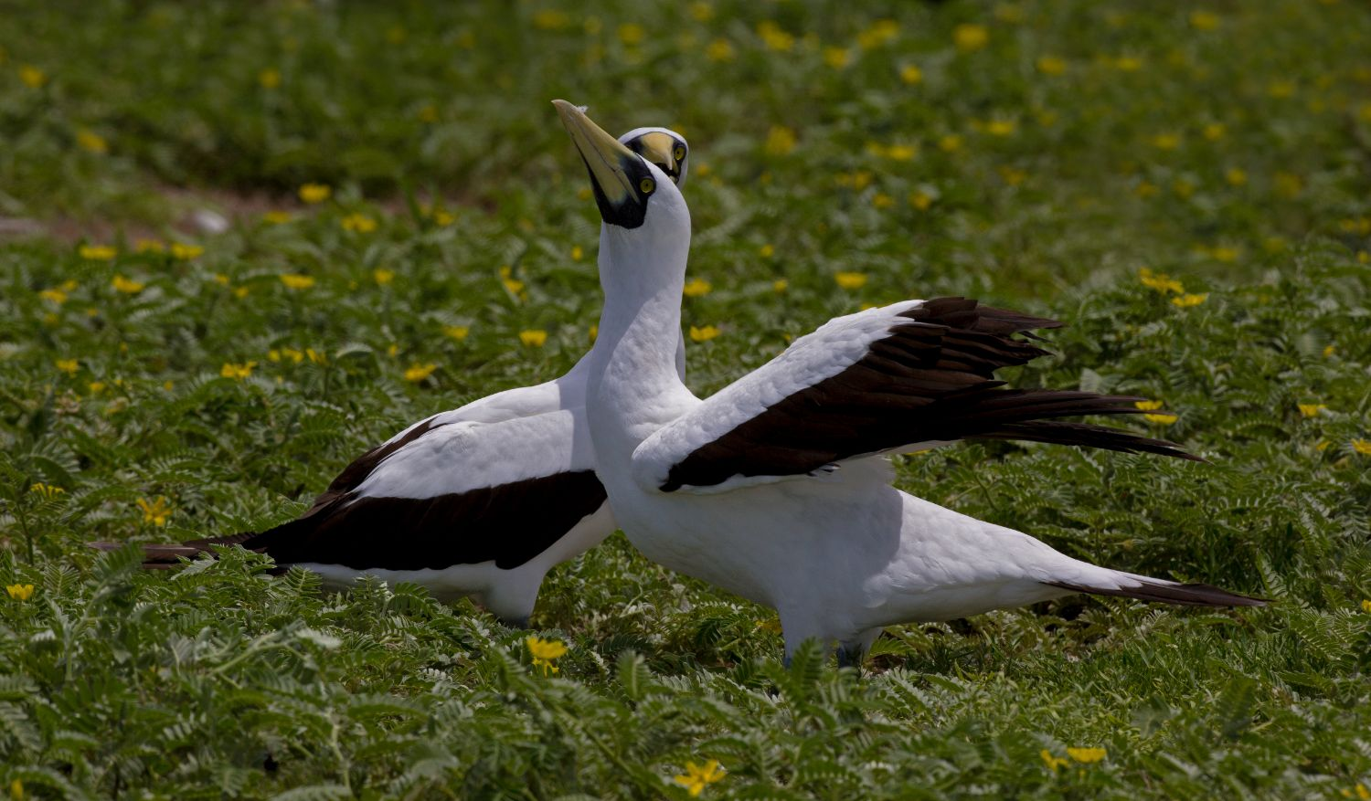 Masked Booby Pair