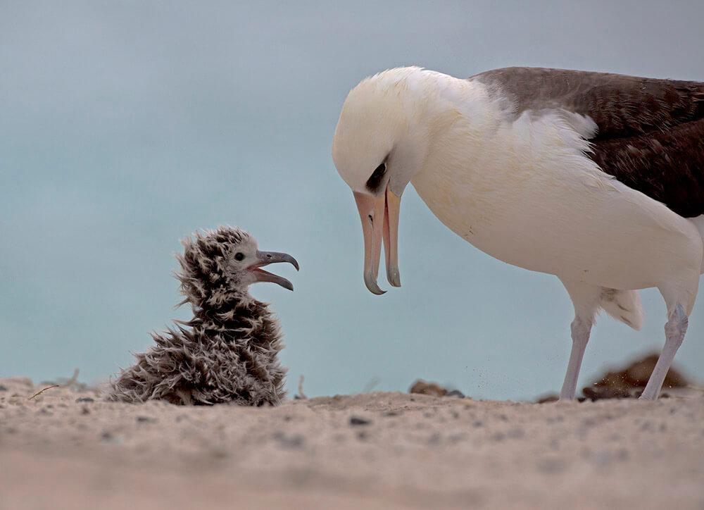 Laysan Albatross Adult & Chick