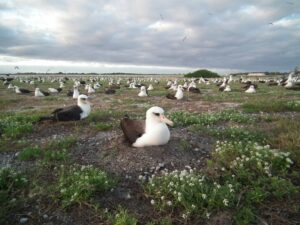 Planning is on-going with the hopes that invasive house mice will be eradicated from Midway Atoll Refuge in 2022, where they were observed attacking and killing nesting Laysan Albatross.